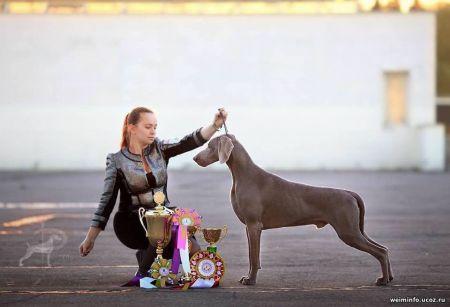 Kic n katch fala lovea the weimaraner pedigree database picture of dog sciox Images