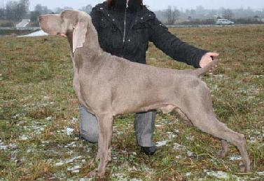 Le fol du vent fala lovea the weimaraner pedigree database picture of dog sciox Images